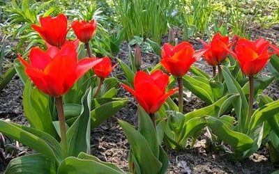 красные обыкновенные тюльпаны
