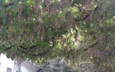 арка с белым виноградом