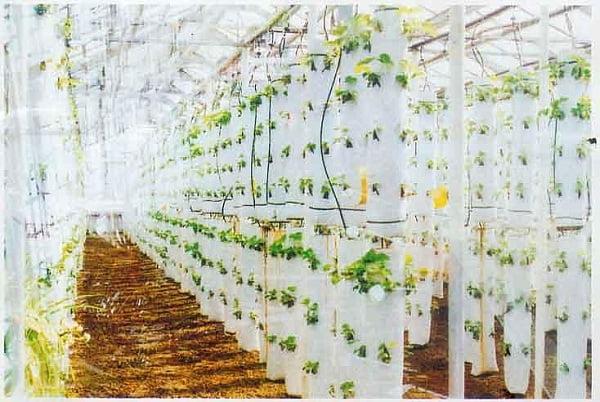 Выращивание клубники круглый год в домашних условиях. зем....