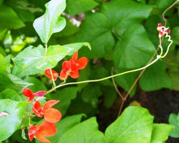 Как вырастить розу из семян: секреты и тонкости выращивания